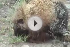 Mammals of the World: North American Porcupine